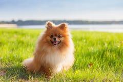 Pomeranian valp på gräs Arkivbild