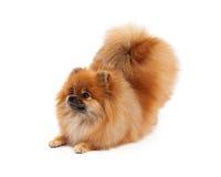 Pomeranian-Verbeugung, die zur Seite schaut Stockbild