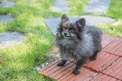 Pomeranian viejo enojado en el parque Imagen de archivo