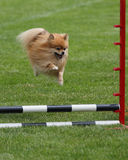 Pomeranian vliegen Stock Fotografie