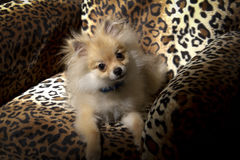 Pomeranian-Welpe Stockbild