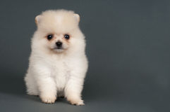 Pomeranian-Welpe Stockfotos