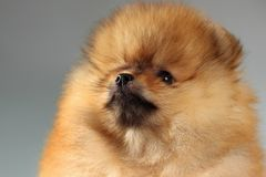 Pomeranian-Welpe Lizenzfreie Stockfotografie