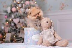 Pomeranian Welpe lizenzfreie stockfotografie