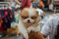 Pomeranian Welpe Lizenzfreie Stockbilder