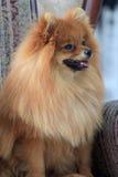 Pomeranian-Welpe, der in der großen Stuhlnahaufnahme sitzt Stockfotografie
