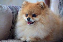 Pomeranian Welpe des Porträts im Großen Lehnsessel lizenzfreie stockbilder