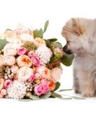 Pomeranian-Welpe mit bouqet von den Blumen lokalisiert auf weißem backgr Stockbild