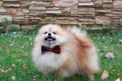 Pomeranian-Welpe steht auf einem grünen Gras Stockfoto