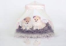 Pomeranian Welpen Lizenzfreies Stockfoto