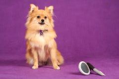 Pomeranian Welpen-Hund mit Pflegenpinseln Lizenzfreie Stockfotografie