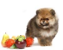Pomeranian on white background, puppy, isolated Stock Image