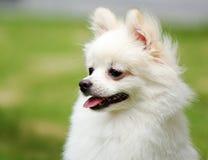 pomeranian white för hund royaltyfri foto