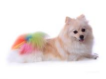 pomeranian white för hund Arkivbilder