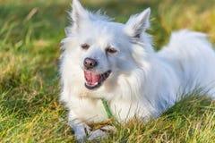 pomeranian white för hund Royaltyfria Bilder