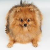 Pomeranian on white Royalty Free Stock Images