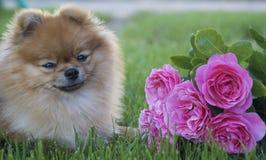 Pomeranian y rosas rosadas en la hierba Fotos de archivo