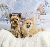 Pomeranian and Yorkshire Terrier sitting together in winter scen. Pomeranian and Yorkshire Terrier sitting in winter scene royalty free stock image