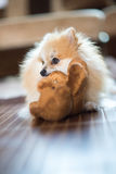 Pomeranian. Young dog bit doll Stock Images
