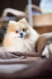 Pomeranian. Young dog in home Stock Images
