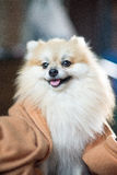 Pomeranian. Young dog in home Stock Image