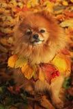 Pomeranian zit in een kleurrijk de herfstpark Stock Afbeeldingen