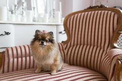 Pomeranianen är en avel av hunden av Spitztypen ofta bekant som en Pom Älsklings- sammanträde på en stol bästa och troget royaltyfri fotografi