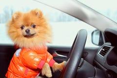 Pomeranianhond in auto Leuke hond in auto Royalty-vrije Stock Fotografie