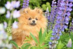 Pomeranianhond in de de zomerbloemen Stock Foto's