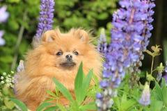 Pomeranianhond in de de zomerbloemen Stock Afbeeldingen