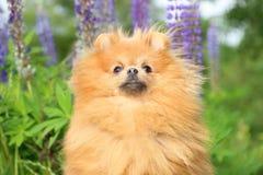 Pomeranianhond in de de zomerbloemen Royalty-vrije Stock Afbeelding