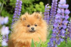 Pomeranianhond in de de zomerbloemen Stock Fotografie