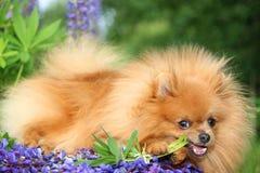 Pomeranianhond in de de zomerbloemen Royalty-vrije Stock Foto's