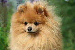 Pomeranianhond in de de zomerbloemen Pomeranianhond op aardachtergrond Stock Afbeelding