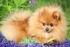 Pomeranianhond in de de zomerbloemen Pomeranianhond op aardachtergrond Stock Fotografie