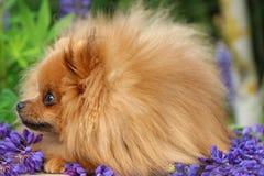 Pomeranianhond in de de zomerbloemen Pomeranianhond op aardachtergrond Royalty-vrije Stock Foto's