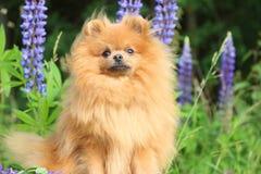 Pomeranianhond in de de zomerbloemen Pomeranianhond op aardachtergrond Royalty-vrije Stock Afbeeldingen