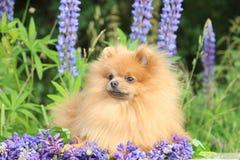 Pomeranianhond in de de zomerbloemen Pomeranianhond op aardachtergrond Stock Foto's