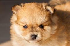 Pomeranianhond, de pomeranian hond van het close-upportret Stock Foto