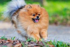 Pomeranianhond die in het park lopen Stock Afbeeldingen
