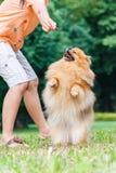 Pomeranianhond die zich op zijn achterste benen bevinden om een traktatie te krijgen royalty-vrije stock foto's