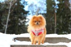 Pomeranianhond die zich in sneeuw bevinden De winterhond spitz Stock Fotografie