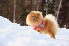 Pomeranianhond die zich in sneeuw bevinden De winterhond spitz Stock Afbeeldingen