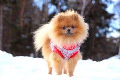Pomeranianhond die zich in sneeuw bevinden De winterhond spitz Royalty-vrije Stock Afbeelding