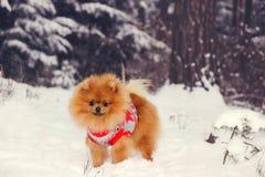 Pomeranianhond die zich in sneeuw bevinden De winterhond spitz Stock Foto's
