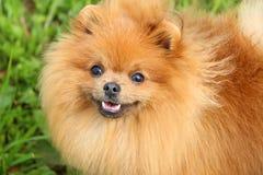 Pomeranianhond en zijn mooie glimlach Stock Afbeeldingen