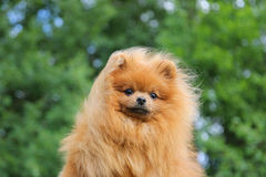 Pomeranianhond en zijn mooie glimlach Pomeranianhond in het park Stock Foto