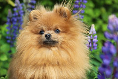 Pomeranianhond en zijn mooie glimlach Pomeranianhond in het park Royalty-vrije Stock Fotografie