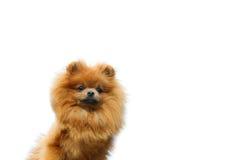 Pomeranianhond op de witte achtergrond Royalty-vrije Stock Foto