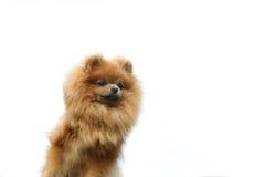 Pomeranianhond op de witte achtergrond Geïsoleerdes hond Royalty-vrije Stock Foto